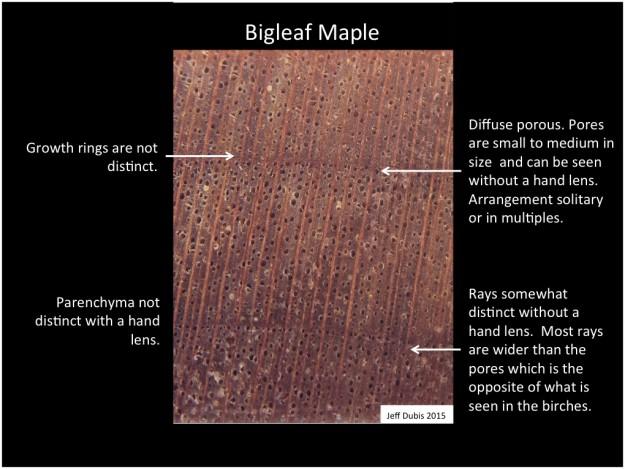 bigleafmaple_cs
