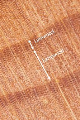 early_latewood