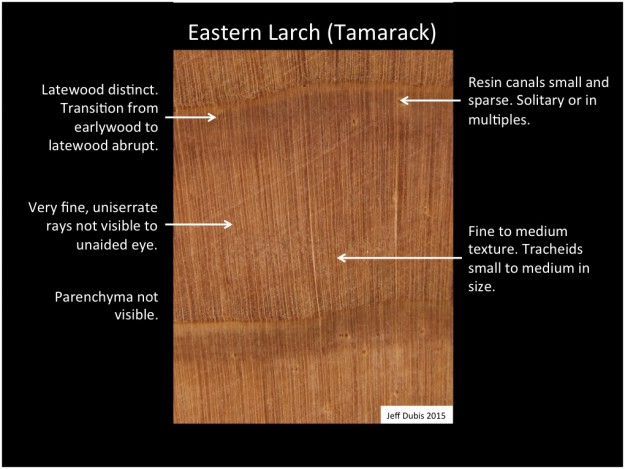 easternlarch_cs