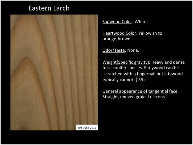 easternlarch_tan