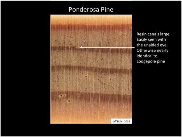ponderosa_cs