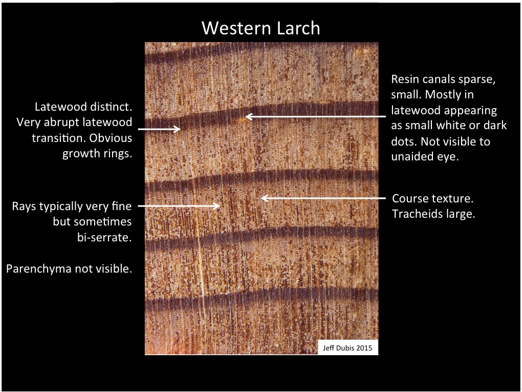 Western Larch Identification Of Common North American Woods