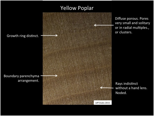 yellowpoplar_cs