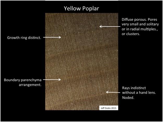 yellowpoplar_cs